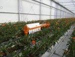 AGV gerbera harvest trolley | Image 3